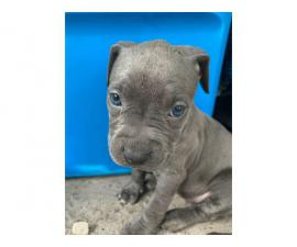 Full-blooded blue nose pit puppies