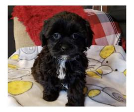 8 weeks old Toy Poodle puppies