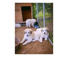 5 Sweet Great Pyrenees Puppies ready for new home
