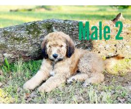 5 males 1 female Goldendoodle puppies