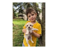 7 weeks old Havapoo puppies  for sale
