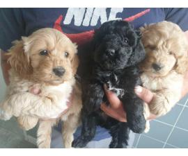 Beautiful Labradoodle Pups