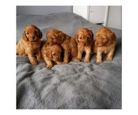 Sweet Beautiful Boys and girls cavapoo puppies available.
