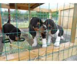 Three full blooded female beagle puppies