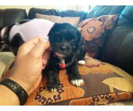 5 females and 1 male Shih-Poo Puppies for rehoming