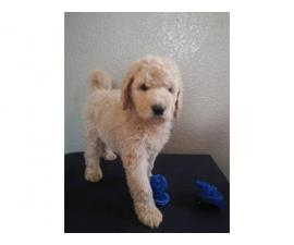 F1b Labradoodles 8 weeks old