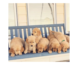 4 adorable Boys and 3 girls of Golden Retriever are available now.