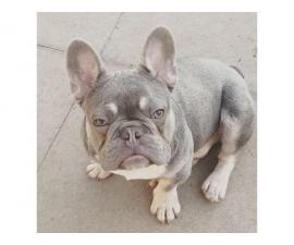 gorgeous little french bulldog ready for adoption.