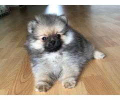 Adorable pom puppy