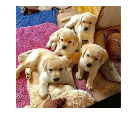 Sweet Beautiful Boys and girls Labrador Retriever puppies available.