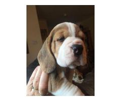 beautiful tri colour beagle puppies for sale