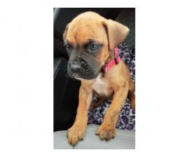 Adorable male boxer puppy need good home