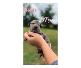 Litter of 11 Great Dane Puppies available