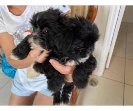 9 weeks old Shihpoo puppies for rehoming