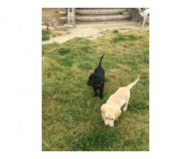 7-weeks-old Labrador retriever puppies for sale