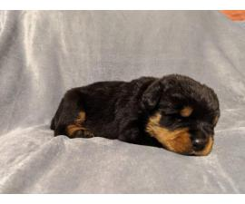 3 boys, and 2 girls Rottweiler pups for sale