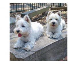 Adorable Twin Westies Available NOW