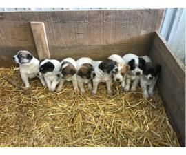 Cattle dogs for sale