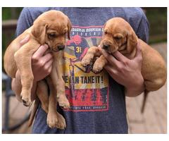 Gorgeous Vizslador / Labrala puppies available