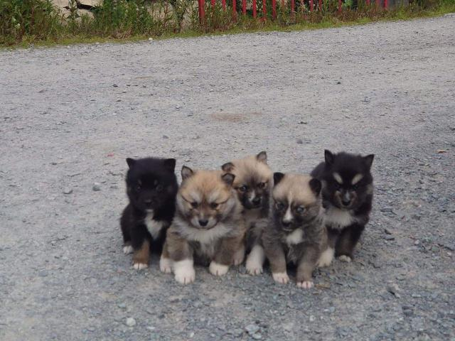 Beautiful Pomsky In Torrance California Puppies For Sale Near Me