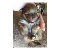 Gorgeous, Pomeranian Boy Puppy