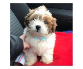 beautiful shih-poo puppy for sale