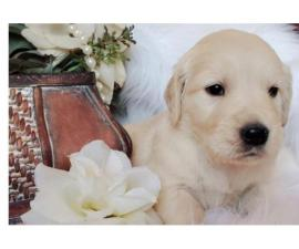 Goldador Puppies - Golden Retriever