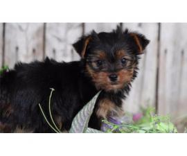 Stunning small Yorkshire terrier puppies