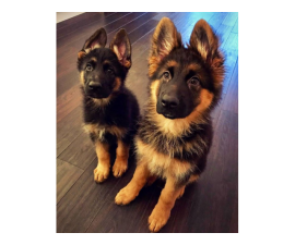 Adorable and sweet German Shepherd dogs are available.