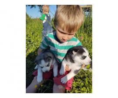 Pretty Siberian Husky puppies ready June 3rd