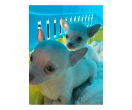 White Male & Female Chihuahua Puppies, Ready Now for sale