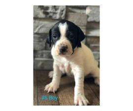 Gorgeous Purebred Pointer pups for sale