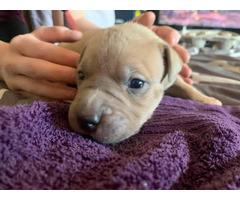 Six Pitbull puppies need good loving home