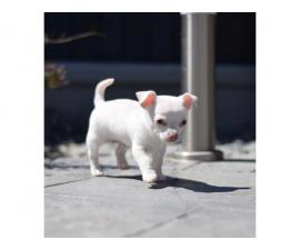 Stunning White Smoothcoat  Chihuahua for sale