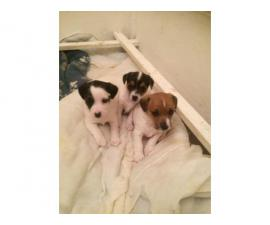 Gorgeous Jack Russell Terrier pups
