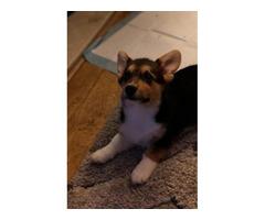 Welsh Pembroke Corgi Puppies AKc Registered