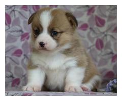 Show Quality Corgi Puppies..