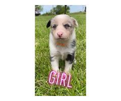 8 Texas Heeler puppies for sale