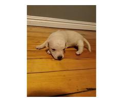 Chihuahua / Dachshund puppies