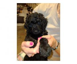 7 weeks old Standard poodle puppies
