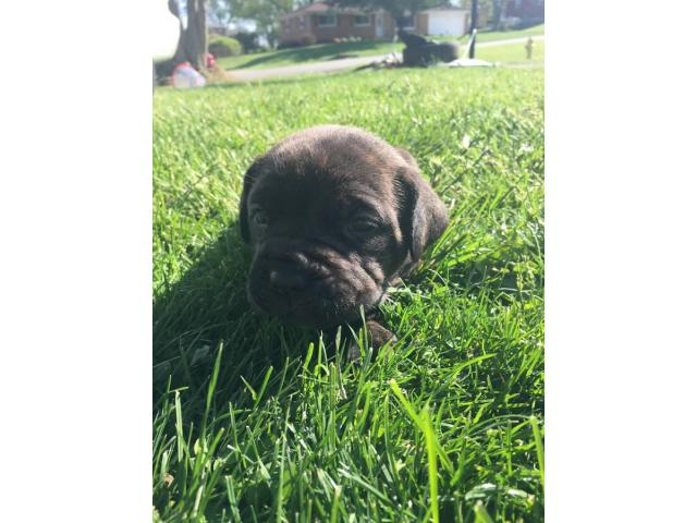 Registered Cane Corso Puppies In Dayton Ohio Puppies For Sale Near Me