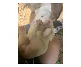 Beautiful Aussie puppies for sale