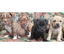 American Pocket Bullie Pups Tri / Lilac