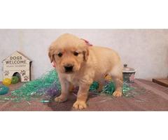 AKC Registered Golden Retrevier puppy