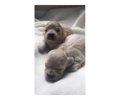 Toy Maltipoo Puppy