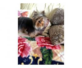 Beautiful Yorkshire Terrier Girl 8 Months Old