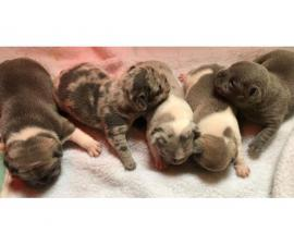 Extremely Beautiful French Bulldogs for sale