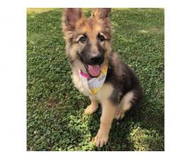 German Shepherd puppies great family pets