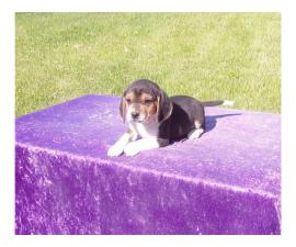 Beagle puppies looking for a new family