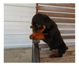Black Rottweiler puppies
